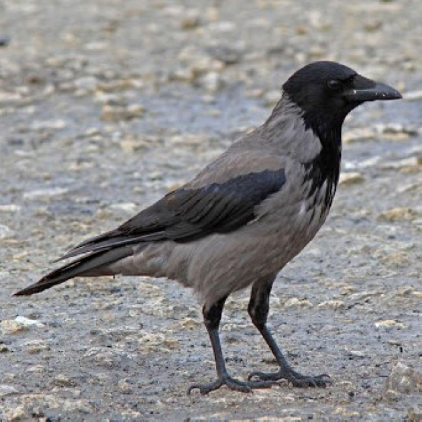 Şehir Kuşçusu 10: Kedi maması ve leş kargası denklemi