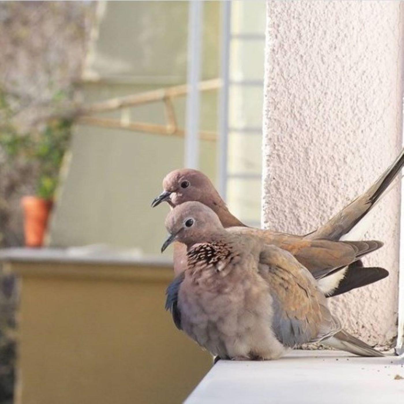 Şehir Kuşçusu 4 - Balkondan kuş gözlemi