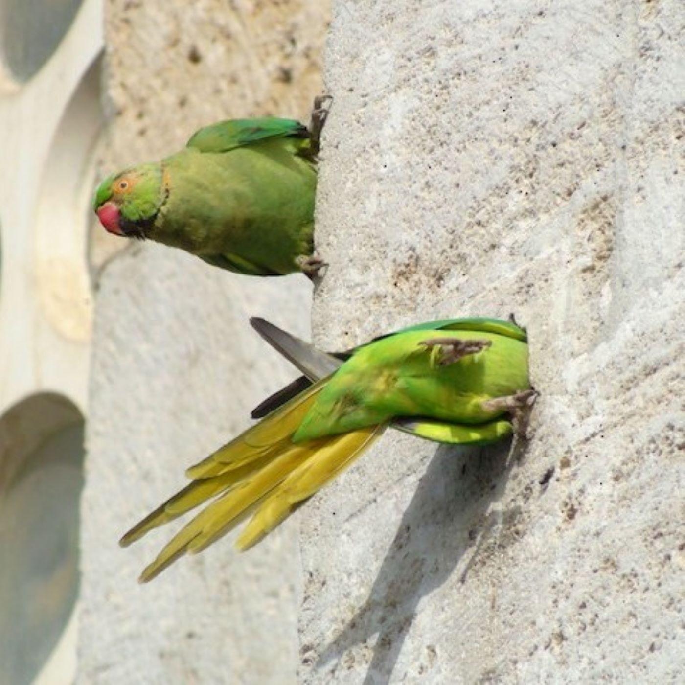 Şehir Kuşçusu 9: İstanbul'daki papağanlar