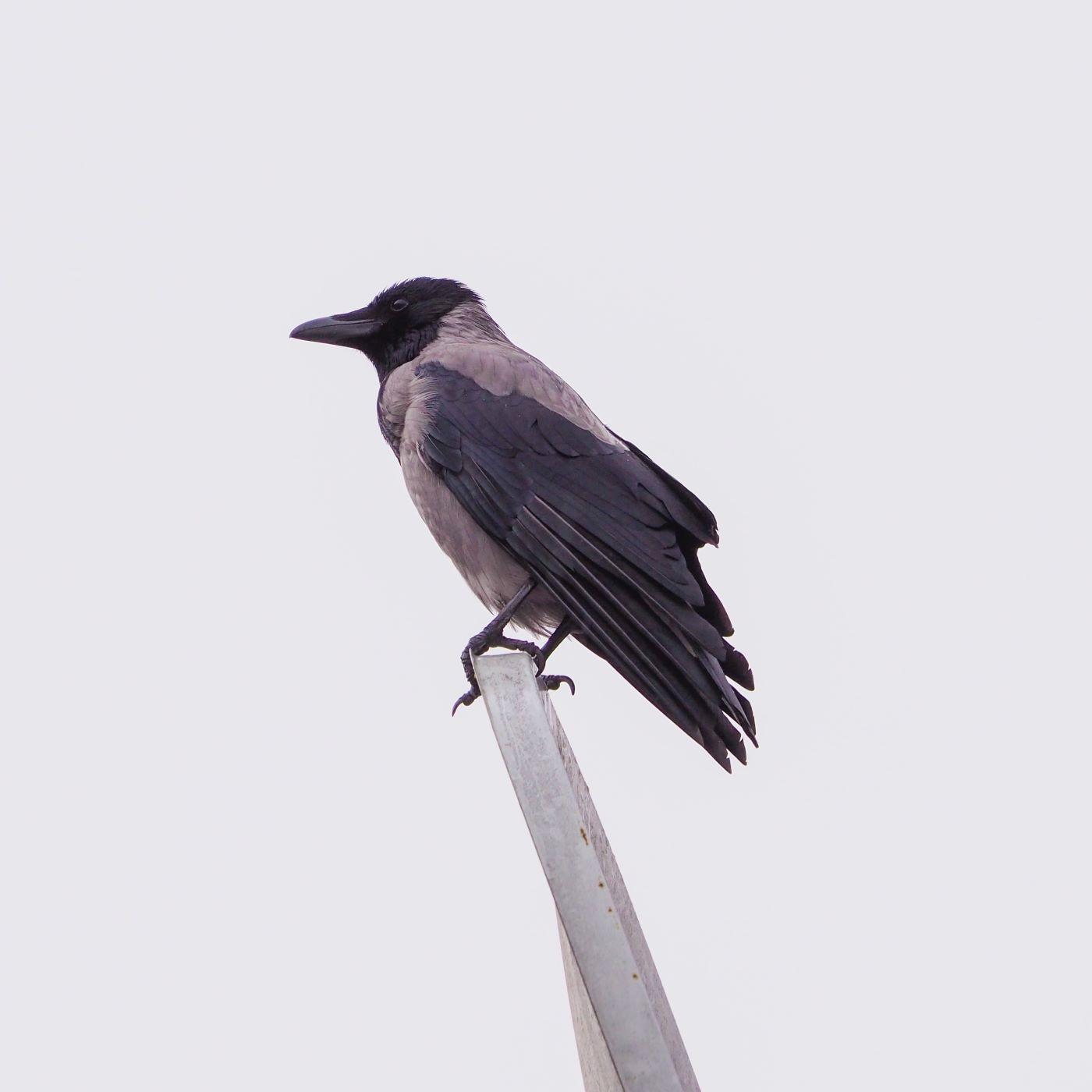 Şehir Kuşçusu 17 - Bu kuşlar neden geldi?